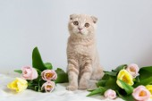 Scottish kitten portrait. Cat at home. Scottish Fold Cat with flowers bouquet. Concept for greeting or post card