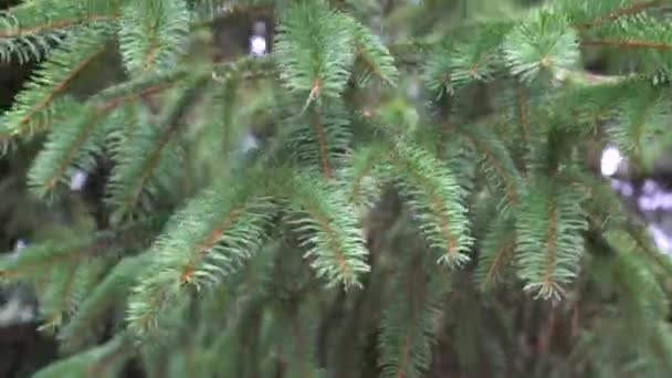 Succulent spruce green branches swaying in the wind on a summer day. Great background for holiday content.