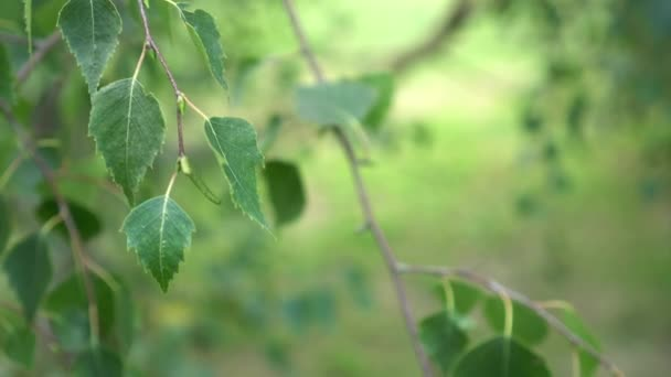Branches of birch with green leaves smoothly move in the wind. Beautiful natural background close-up