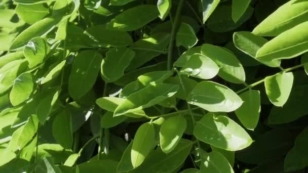 Detailní záběr na strom se svěžím zeleným listím s kapkami po dešti pod jasným letním sluncem v odpoledních hodinách
