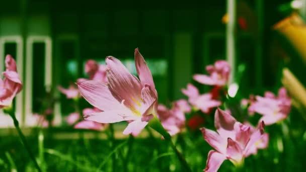 Közelről rózsaszín eső liliom virág fúj a szél a zöld háttér, Zephyranthes minuta.