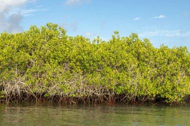 Mangrove Forest in Galapagos Islands, Ecuador