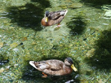 The ducks at the source of the Bosna River in Sarajevo