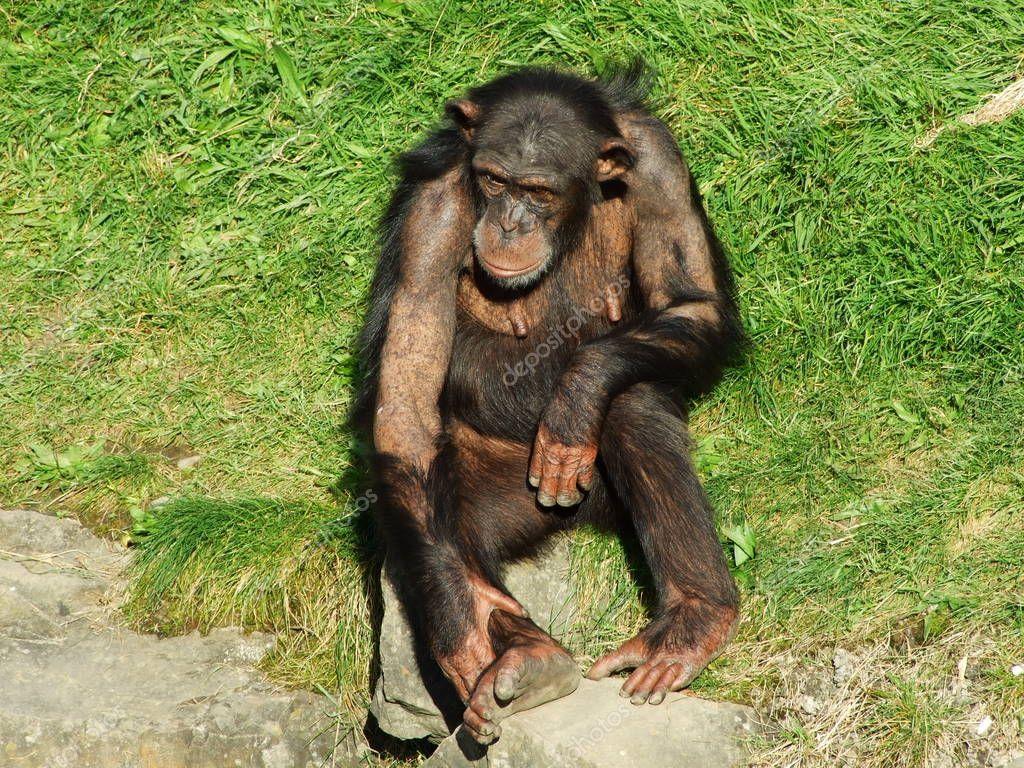 The chimpanzee (Pan troglodytes), also The common chimpanzee, robust chimpanzee, chimp or Der Schimpanse, Abenteurland Walter Zoo - Gossau, Canton of St. Gallen