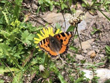 The small tortoiseshell butterfly (Aglais urticae) or Kleiner Fuchs Schmetterling, Innerthal - Canton of Schwyz, Switzerland stock vector