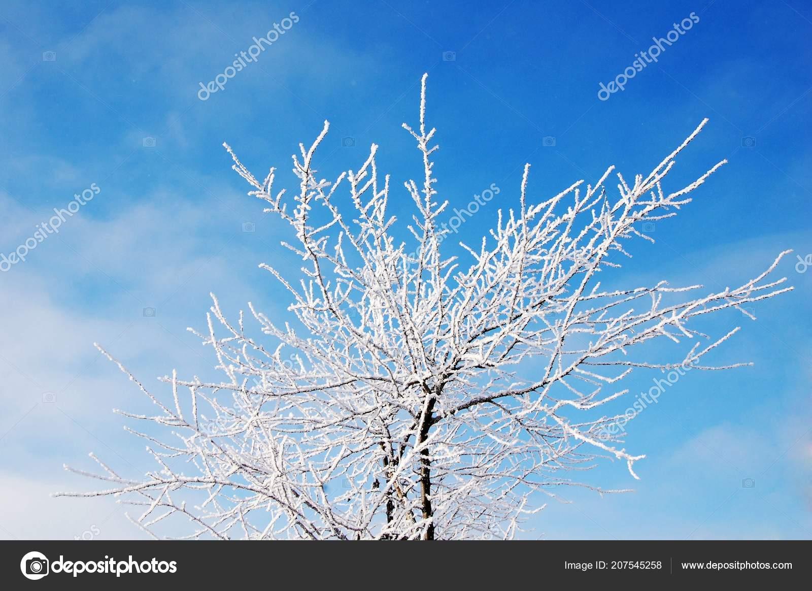 Albero Formica Gelo Una Giornata Sole Nel Mese Gennaio