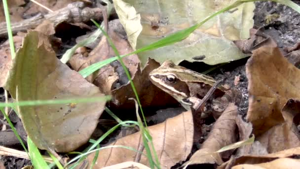 Common Frog Is Sitting