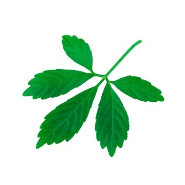 Miracle Grass or Jiaogulan Leaf or Southern ginseng or Gynostemma pentaphyllum or Five Leaves Ginseng or Herb of Immortality Isolated on White