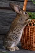 Birichino, marrone coniglio arrampicata nel cestino con il trifoglio. Pasqua, vacanza. Orecchie di coniglio