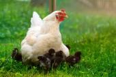 Fotografie Bílé kuřecí slepice s kuřaty