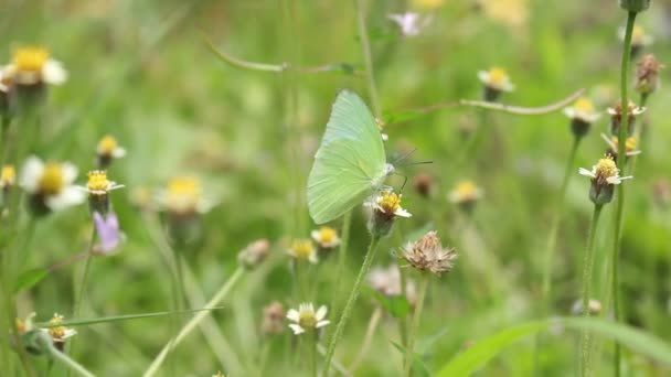 Green butterfly on small grass flowers and fly to another flower