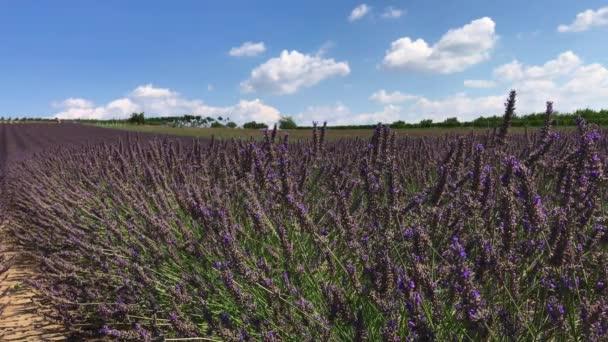 Přímé řádky zahradní levandule fialový květ, létající včely sbírat nektar, modrá obloha s mraky bílá