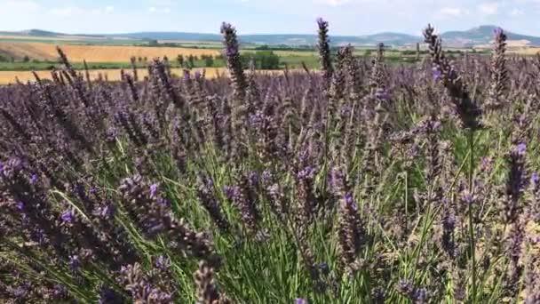Letní zahradní nafialovělých kvítků na bylinkové farmě s suché pole a protější hory v pozadí, pár včel podle květenství