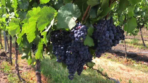 Handsome hroznů hroznů tmavě fialové vinné révy s pár nezralých barevné s měkkou bloom a zelenými listy, rostoucí na vinici farmě v řádcích. Bohatá jemná ložiska keřů pod sluneční světlo na větrný den