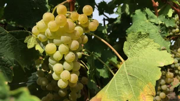 Growing bunch of ripe and unripe white vine grape with green leaves at vineyard farm under sunlight