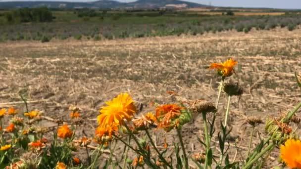 Oranžové společné květy měsíčku na bylinkové farmě s suché pole a nízkých kopců v pozadí, větrno slunečný den s několika hmyz létající pod květenství