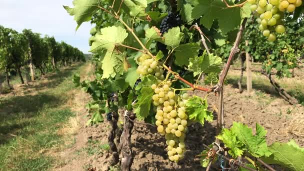 Vine trunk with ripe handsome white grape bunches against black purple vine grape bush growing in row in vineyard farm at windy and sunny day, view from close berries with green leaves to distance row