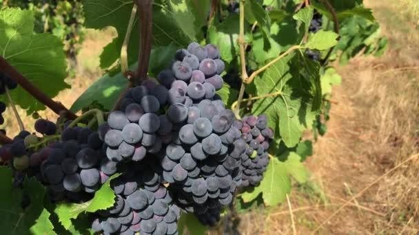 Trsy tmavě fialové zralé hroznové víno s mat bloom a zelené listy, bobule v pěkný hrozny na vinici farmě, pěstování vinné révy v letním dni s jasného slunečního světla