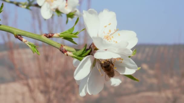 Közeli kép a méh beporzó virág mandulás fehér virág-virágzó gyümölcsös. Tavaszi koncepció. Rovarok gyűjtése méz pollen. Mézelő méh pollen, a virágzó mandula a fa virágok gyűjtése nektárt. Méhek a gyümölcs ág. Tavaszi gyönyörű mandula