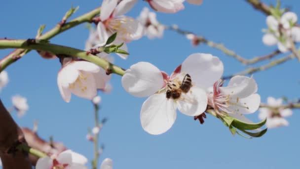 Méh beporzó virága fehér mandula a virágzó orchard virág, és repül el, zár-megjelöl. A méhek a gyümölcs ág. A méhek a virágpor, a virágzó mandula a fa virág virágportól. Rovar összejövetel pollen a méz. Tavaszi koncepció. Tavaszi szépség
