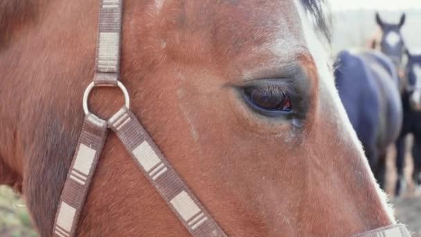 Nahaufnahme des braunen Pferdeauges mit anderen Pferden im Hintergrund. Pferdekopf mit Halfter auf der Landwiese. Junges Pferd, das tagsüber auf dem Pferdehof schaut. Haustiere auf Frühlingsweiden. Pferde auf Ranch