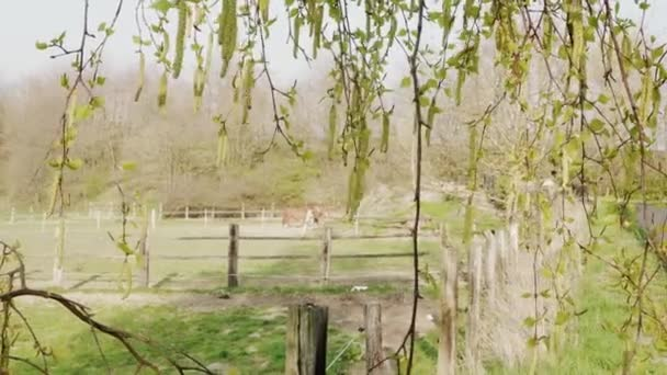 Birkenzweig mit Aglets und grasenden Pferden auf der Koppel als Hintergrund am Frühlingstag. Birke mit Ohrringen und Nutztieren. Blütezeit auf der Ranch. Neuanfang. Pollen blühender Pflanzen, saisonale Allergiezeit. Natur. Gesund