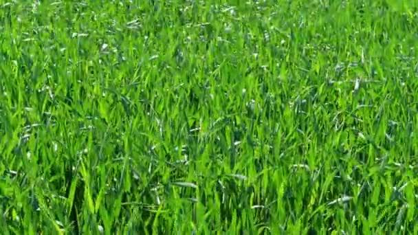 Zelené travnaté pole za slunečného větrného dne, přírodní pozadí. Zdravý trávník s mladou pšenicí pod větrem, v šatě. Obilná rostlina, chlebová kukuřice, žita, ovesná rýže. Na krajinářství. Barva zahrady v létě