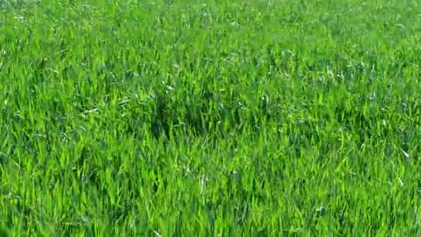 Green grass with blowing breeze and wind blast, wheat field. Nature background before storm at spring day. Lawn ground, young wheat on field under gale. Cereal plant, bread corn, rye, oat, rice. Landscape herbage. Garden color in summer