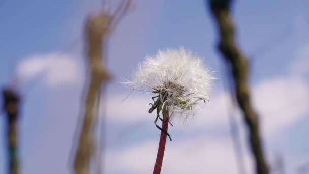 V jarní vinici se pěstují bílé, na modré obloze. Zralá květina se semeny na větru, zblízka. Stabilita, tvrdá a oblost, změna a přání. V létě továrna na trávu. Mor pod větřík. Osamělá dandelví záře