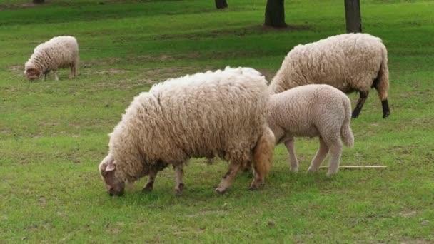 Na zeleném poli u stromů v jarním dnu se pají bílé ovce a jehněčí. Stádo ovcí na pastvinách. Stádo pátravo trávu. Živočišné zemědělství v mlékárenské farmě. Domácí zvířata se pasou na Paddock. Krmí se chlupatý bahně. Stravování, tup, dav venku