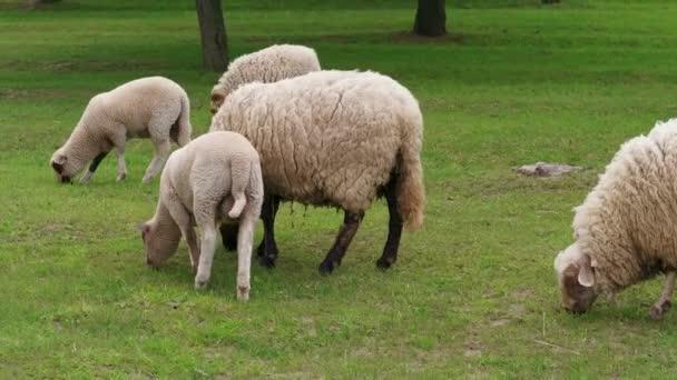 Schafherde auf der Weide. Weiden weiße Schafe und Lämmer auf einer grünen Wiese in der Nähe von Bäumen am Frühlingstag. Herde weidete Gras. Viehzucht auf dem Milchviehbetrieb. Haustiere grasen auf der Koppel. Fütterung von Wollschafen. Essen Widder, tup, Mob im Freien