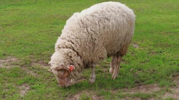 ein wolliges weißes Schaf mit sichtbaren orangefarbenen Ohrmarken, das am Frühlingstag auf der grünen Weide weidet. Schafherde auf dem Feld. Herde junger Schafe weideten auf Gras. Viehzucht auf dem Milchviehbetrieb. Haustiere grasen auf der Koppel. Mutterschaf füttern
