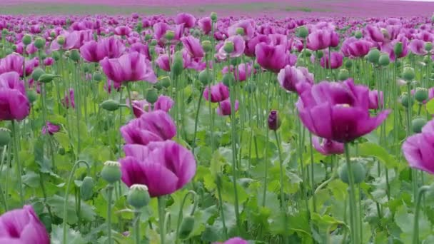 Field of flowering violet poppies and poppy capsules, purple flowers at windy day. Blue poppy meadow in agriculture. Blooming medical plants with straws on farm. Papaver, beautiful garden poppy under wind. Color concept