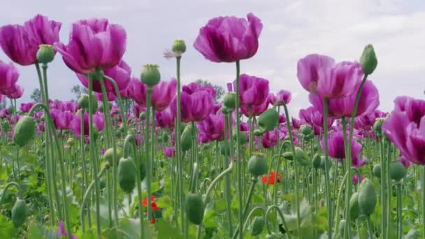 Flowering violet poppies and poppy capsules field against cloudy sky. Purple and red flowers at windy day. Blue poppy meadow in agriculture. Blooming medical plants with straws on farm. Papaver, beautiful garden poppy under wind. Color concept
