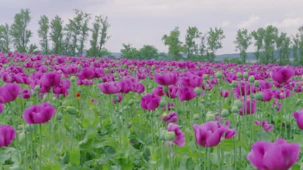 Flowering violet poppies and poppy capsules field against green trees and cloudy sky. Purple and few red flowers at windy day. Blooming medical plants with straws on farm. Blue poppy meadow in agriculture. Papaver, beautiful garden poppy under wind