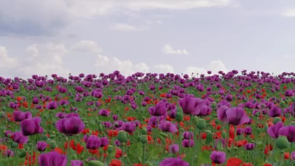 Blossom of red and purple poppy field against blue cloudy sky. Flowering Papaver with unripe seed heads at windy day. Maturing blue poppy flowers with pods on meadow in agriculture. Blooming medical plants with straws on farm. Blossom at windy day
