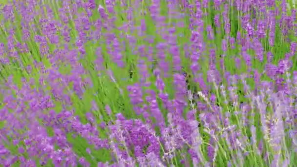 Growing blooming lavender, flowering at summer windy day, handheld shot. Culinary herb, plants for extraction of essential oil. Medicinal herb in agriculture. Lavandula on farm. Medical plant. Blossom of lilac flowers. Blossom of growing lavender