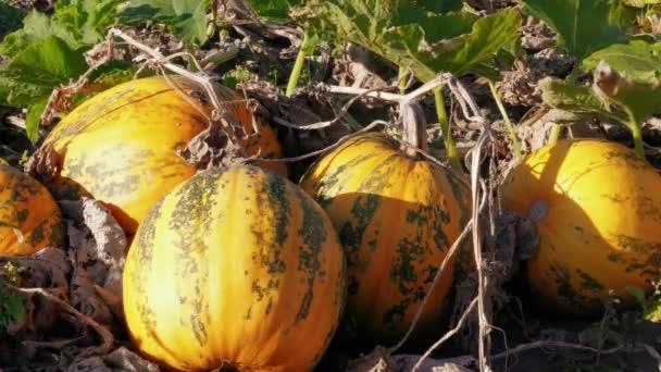Dýně rostou na farmě, podzimní zemědělství, zahrada za větrného slunečného dne. Oranžová růstová tykev a zelené listí ve větru. Podzimní sklizeň, Zeleninové plodiny. Příprava díkůvzdání a Halloween. Sběr dýně v zahradě