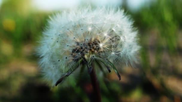 gyermekláncfű egy mezőben, fúj a szél
