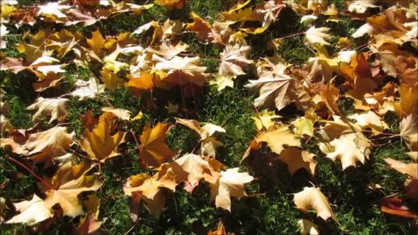 Fallen maple leaves lying on grass