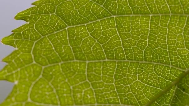 Macro shot of the underside of a sprig leaf, backlit by sunlight