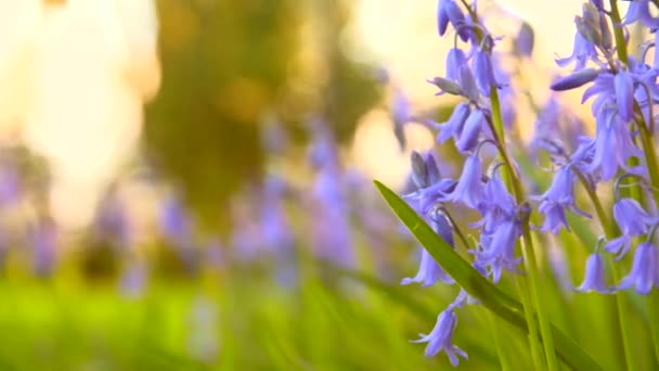 patch of wild bluebells in the evening sun in spring