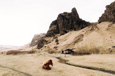 """Картина, постер, плакат, фотообои """"исландская лошадь - порода лошадей, выращенная в исландии. коричневая лошадь лежит на траве, на фоне дома у подножия горы . море"""", артикул 381500536"""