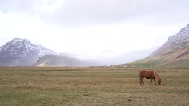Jeden hnědý kůň kráčí přes pole uprostřed sněhové bouře v horách. Islandský kůň je plemeno koní pěstované na Islandu.