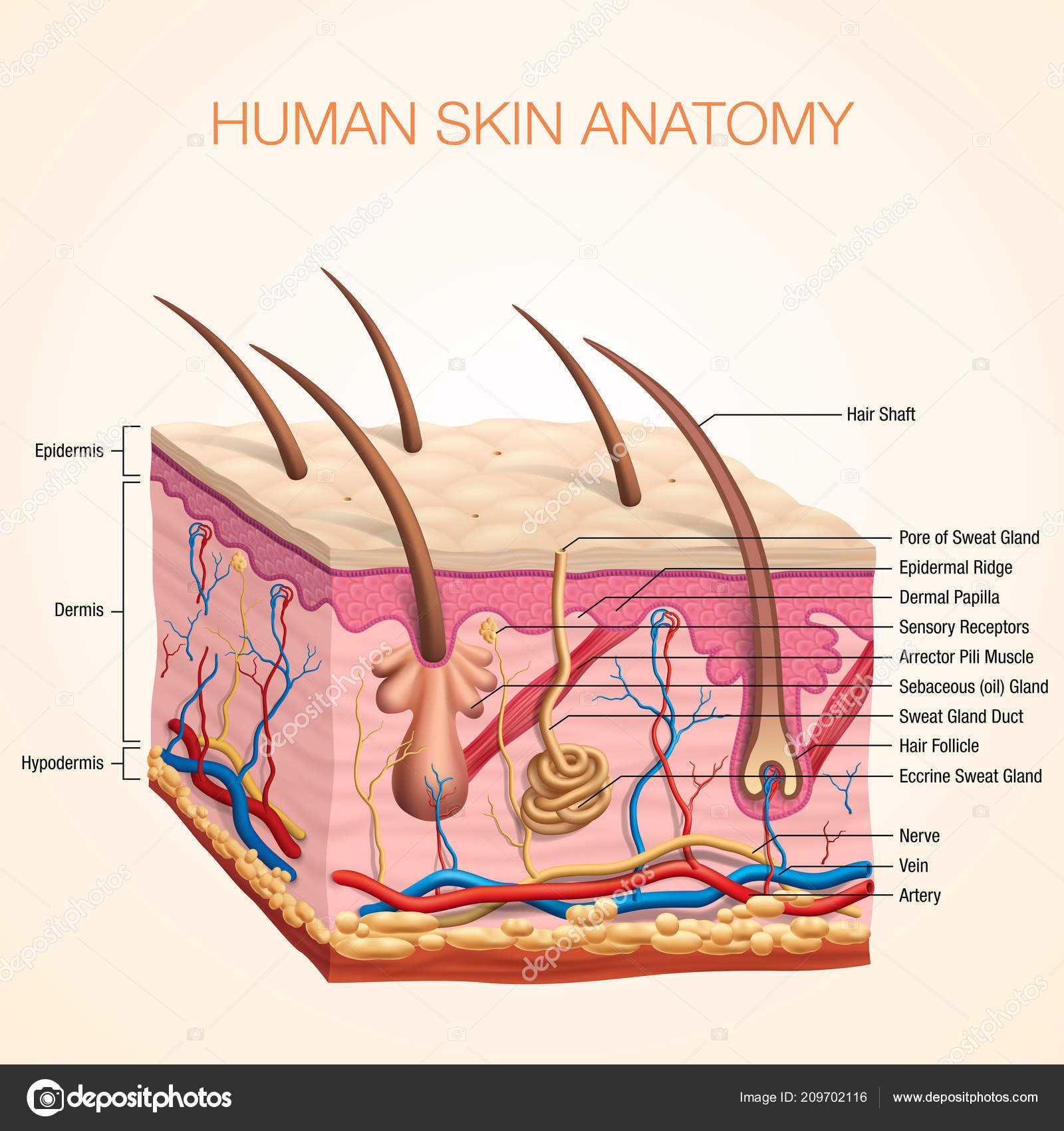 human body skin anatomy vector illustration parts vein artery hair — stock  vector
