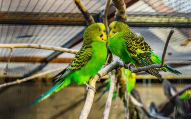 Very close lovely couple of budgie parakeets together, tropical and popular pets in aviculture, colorful birds from Australia stock vector