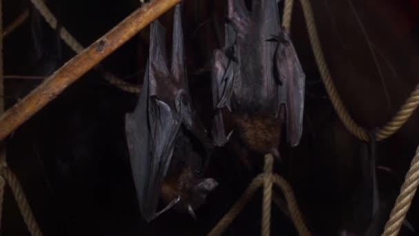 Lyles fliegende Füchse hängen an einem Ast zusammen in Nahaufnahme, tropische Fledermäuse aus Asien, Gefährdete Tierspezies