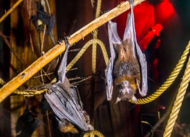 closeup of two lyle's flying foxes hanging upside down on a branch, nocturnal halloween animals, popular bat specie from Asia