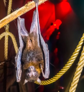 closeup portrait of a lyle's flying fox, tropical and vulnerable bat specie from Asia, Nocturnal halloween animal