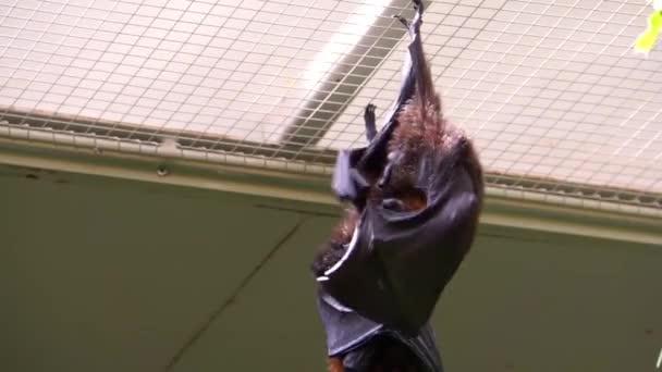 Nahaufnahme eines Rodrigues Fliegenfuchs Reinigung seines Fells, tropische Frucht Fledermaus aus Afrika, gefährdete Tierart